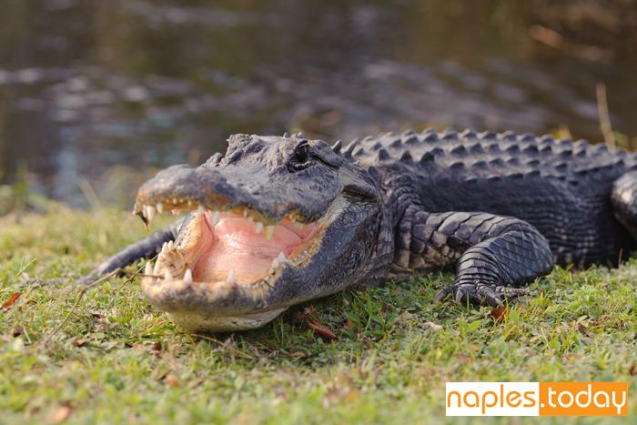 Aggressive alligator in Florida Everglades