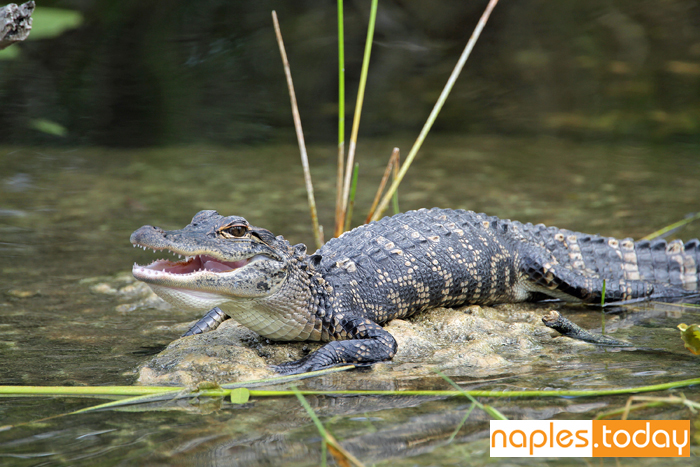 Alligator basking in the sun