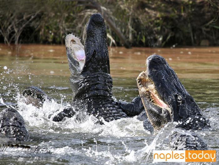 Alligators fighting over food
