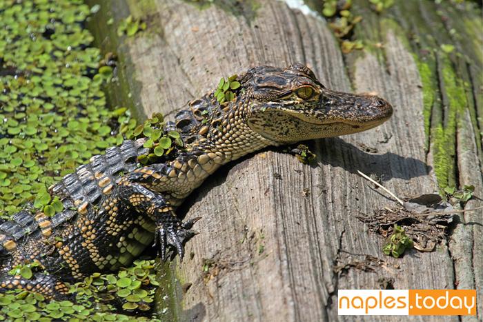 Baby American alligator basking in the sun