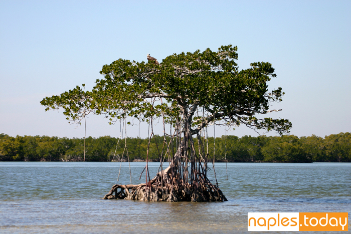 Beautiful canopied tree Ten Thousand Islands