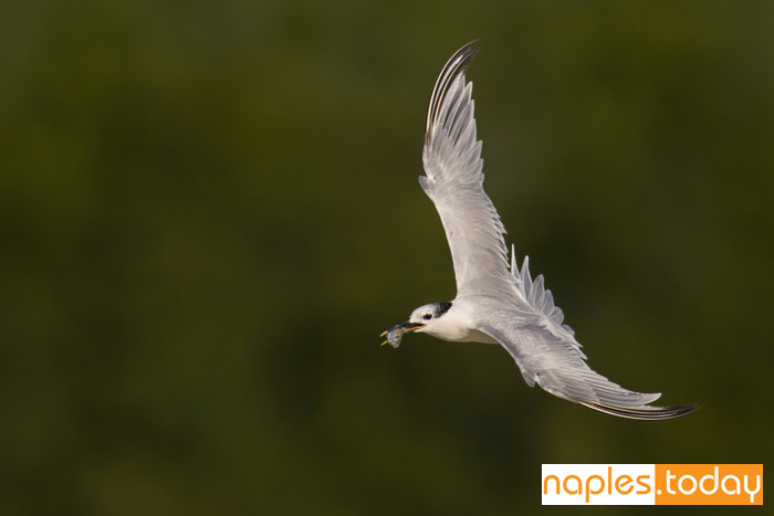 Sandwich Tern (Thalasseus sandvicensis) in flight