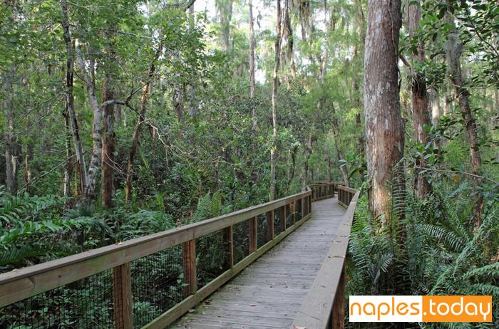 Boardwalk through a Cypress swamp