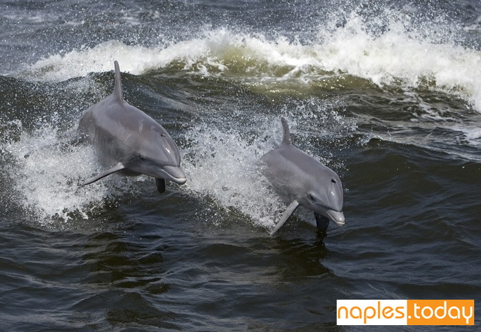 Bottlenose dolphin playing in waves
