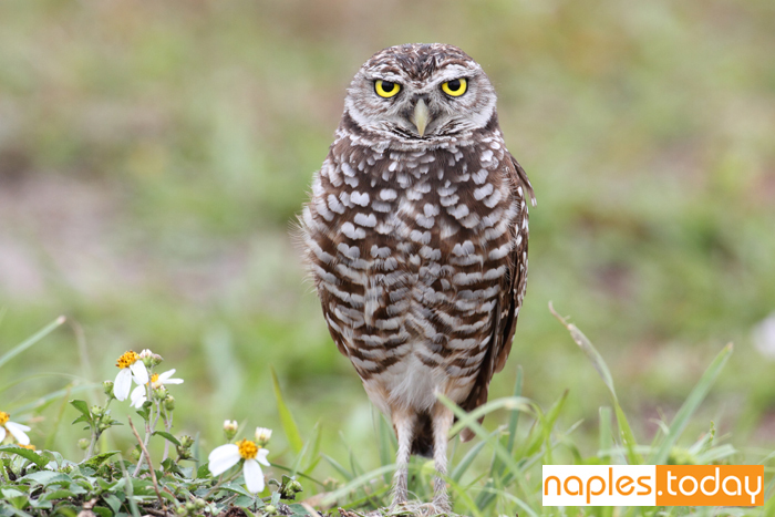 Burrowing Owl in the Florida Everglades