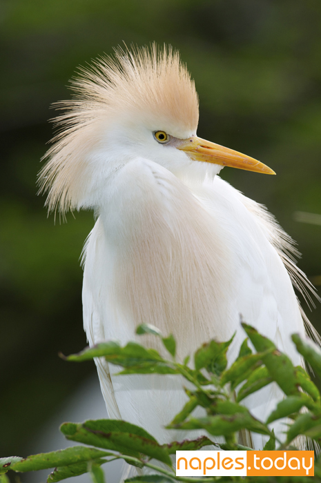 Cattle Egret with breeding colors on nest