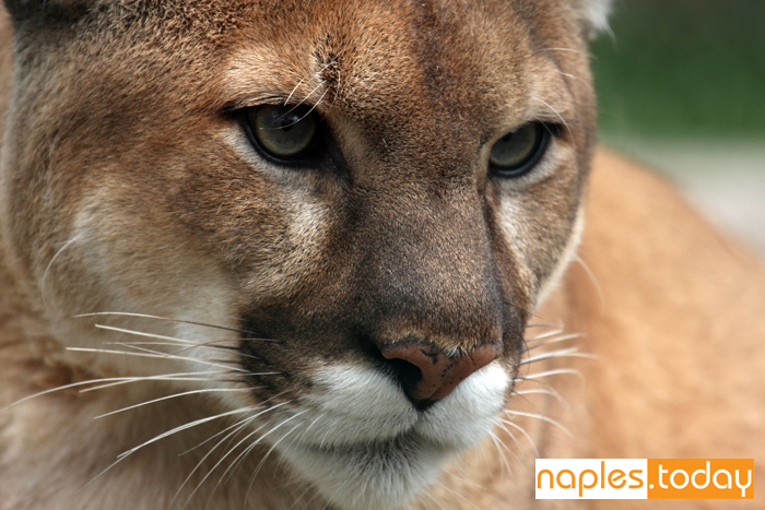 Close-up of a majestic Florida Panther