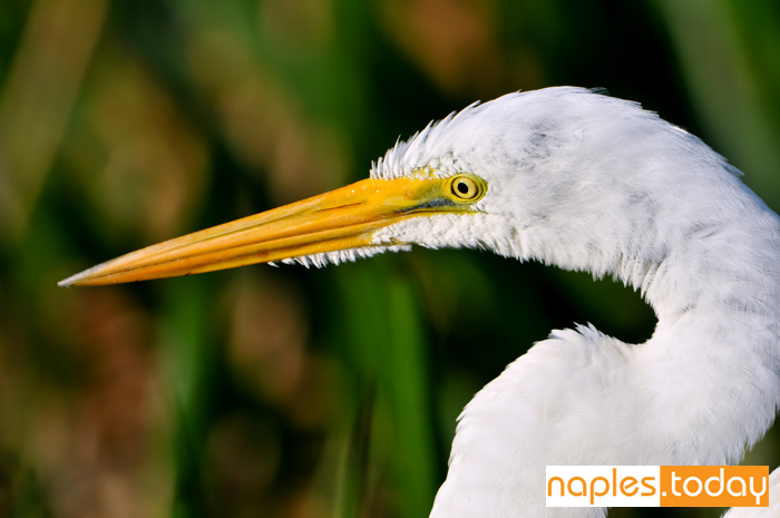 Close-up of Great White Egret in Florida