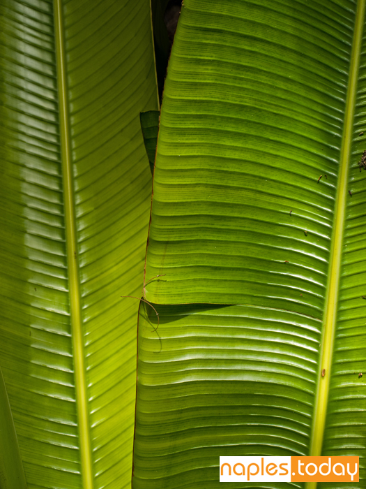 Close-up photo of banana leaves in Naples