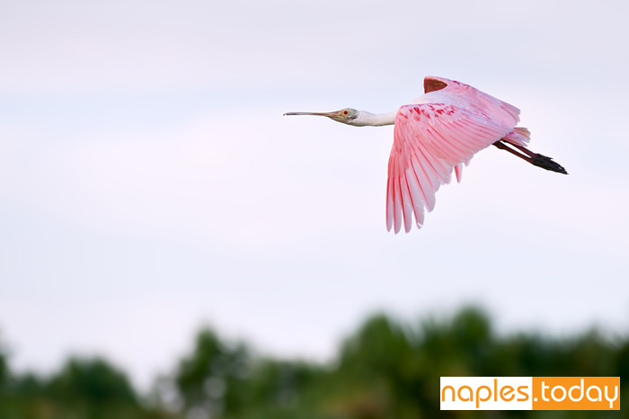 Colorful Roseate Spoonbill in flight