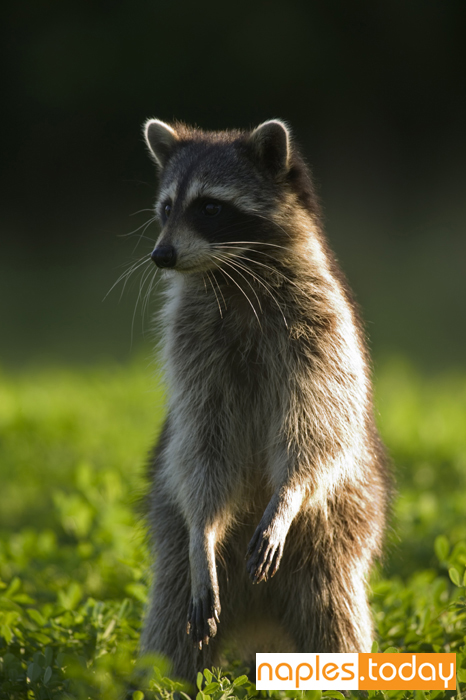 Curious raccoon in the Everglades