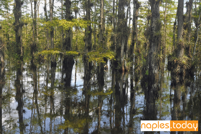 Cypress trees in the Everglades ecosystem
