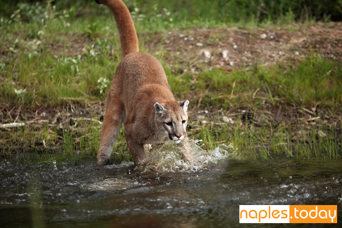 Endangered Florida Panther chasing pray