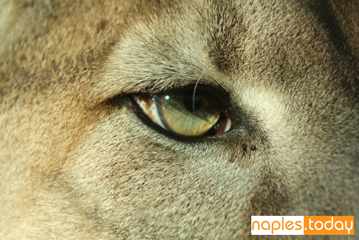 Extreme close-up of Florida Panther
