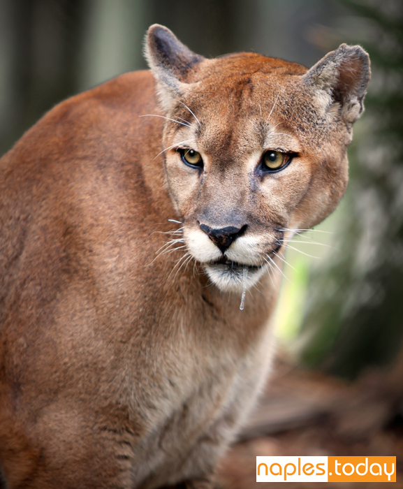 Florida panther in anticipation of a hunt