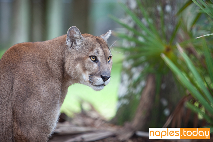 Florida Panther focuses on danger