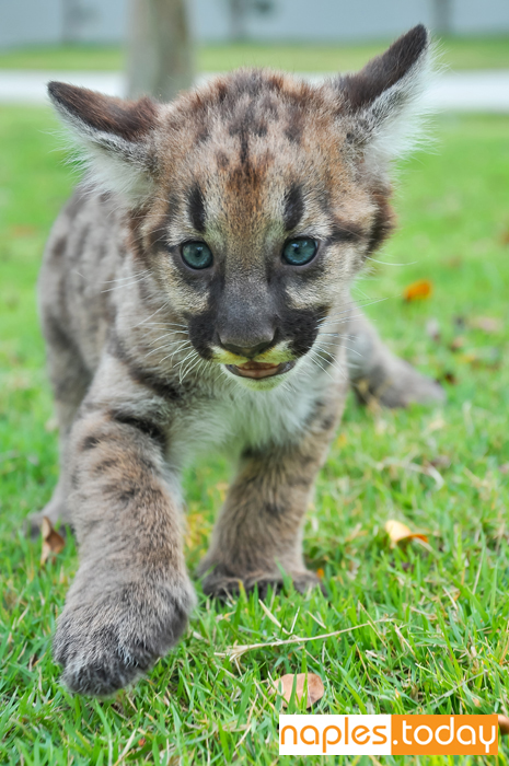 Florida Panther kitten on the move
