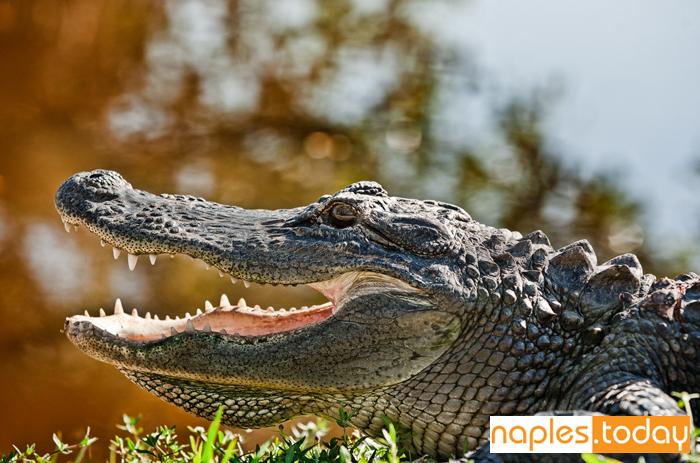 Friendly alligator sunbathing by a pond