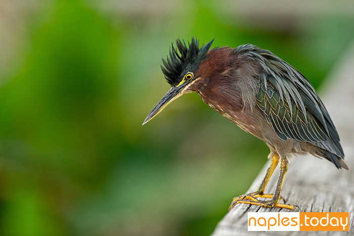Green Heron perched on rail in wetland