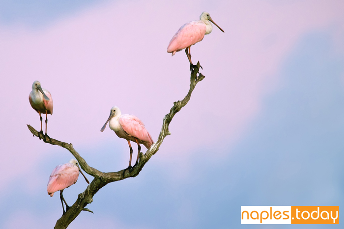 Group of Roseate Spoonbills on tree