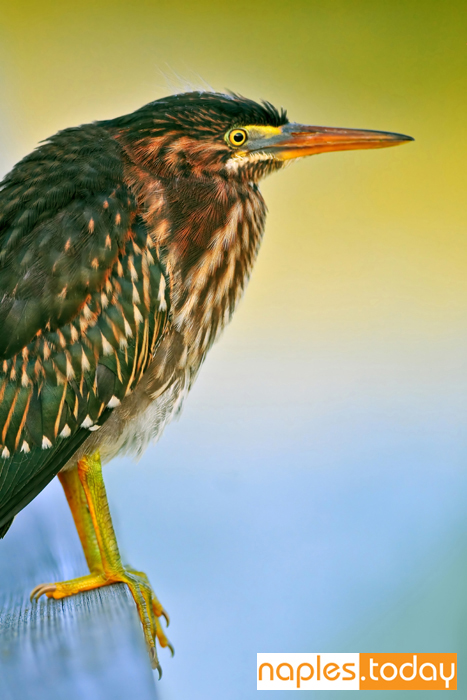 Juvenile green-backed Heron in Naples