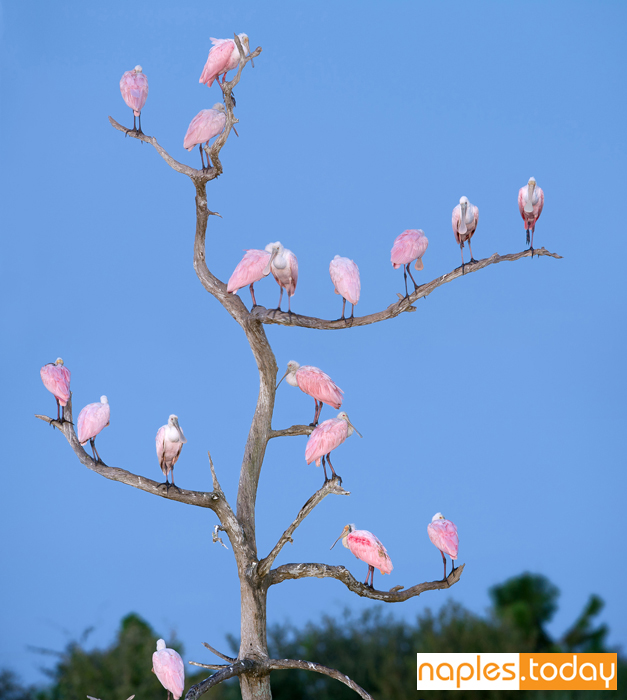 Large group of Roseate Spoonbills on tree