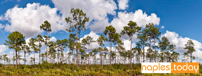 Long Pines in Everglades National Park