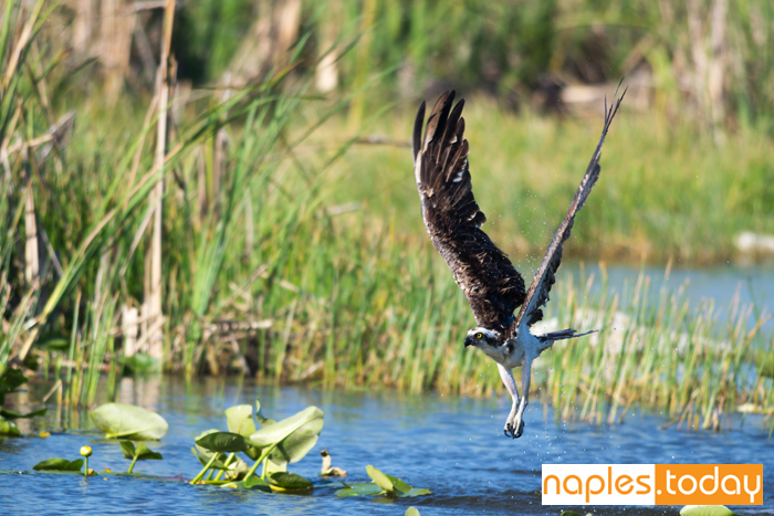 Osprey emerging from water