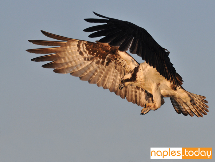 Osprey focusing on prey in flight