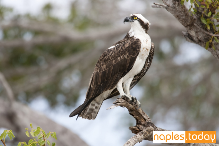 Osprey perched on tree in Naples
