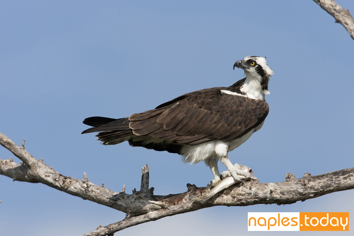 Osprey with a freshly caught fish