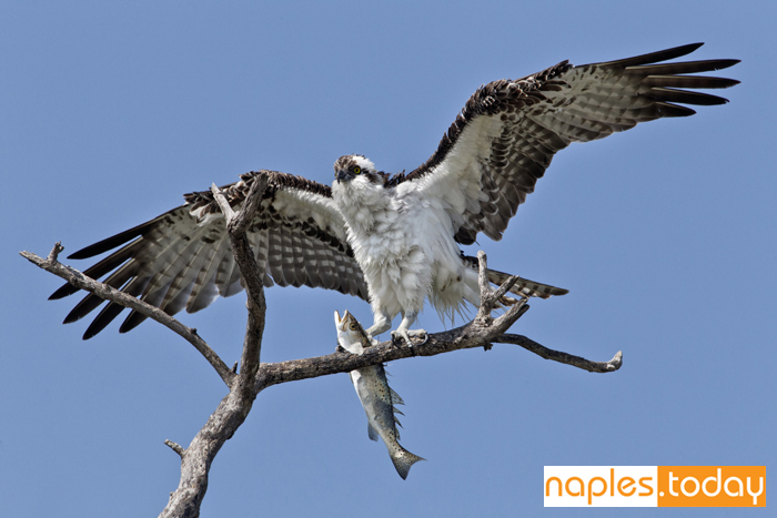 Osprey with sea trout catch