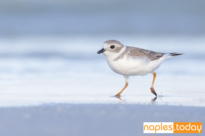 Piping Plover running along Naples beach