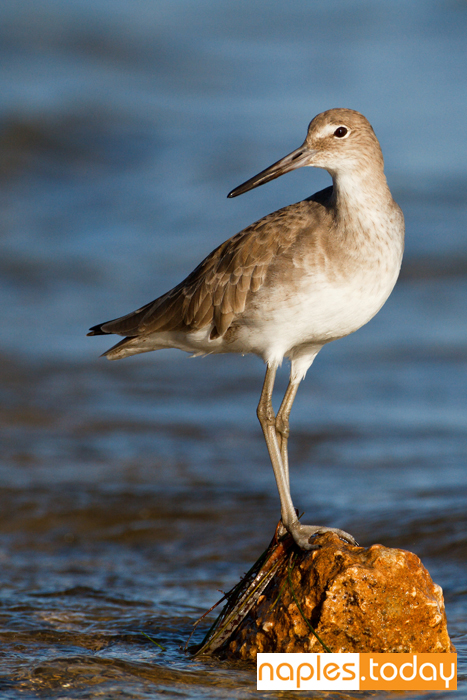 Portrait of a Willet in Naples Florida