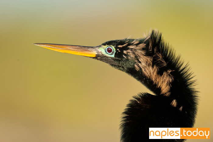 Profile of a beautiful male Anhinga