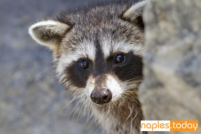 Raccoon peeking around the corner