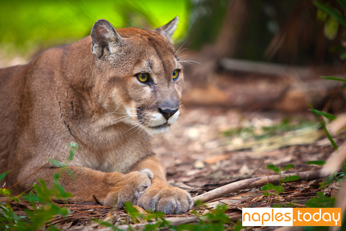 Rare sighting of an endanger Florida Panther