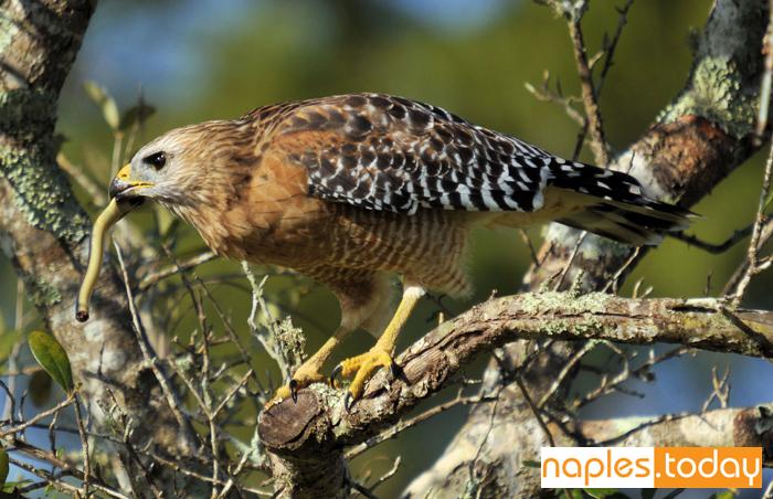 Red-shoulder Hawk with snake
