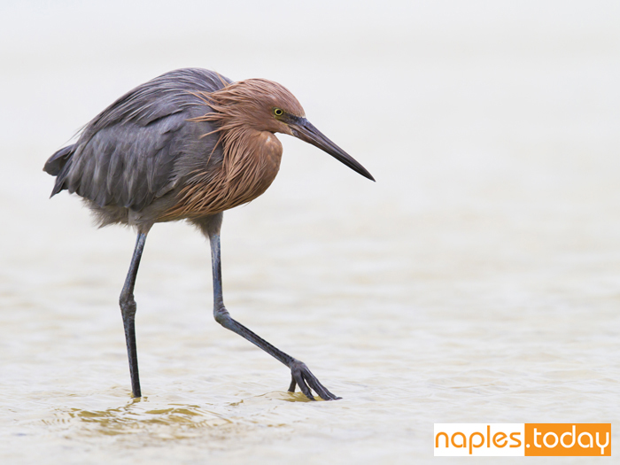 Reddish Egret shuffling the Everglades' waters