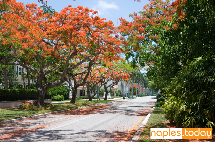 Royal Poinciana-lined street in Naples