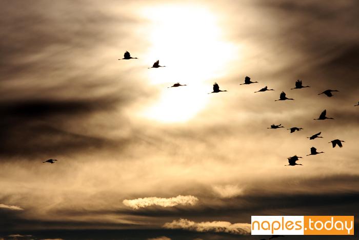 Sandhill Cranes in Naples sunset