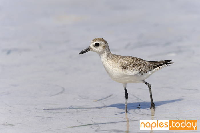 Sandpiper posing on Naples beach