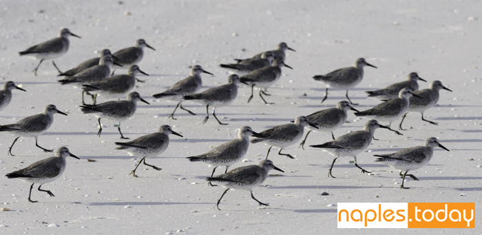 Sandpiper stampede on Naples beach