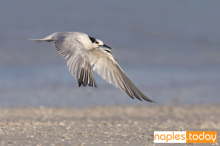 Sandwich Tern in flight with fish in its beak
