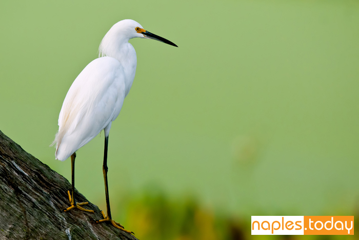 Snowy White Egret perched on log