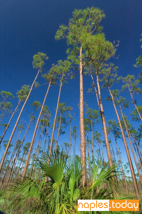 Southern pine grove in Florida Everglades
