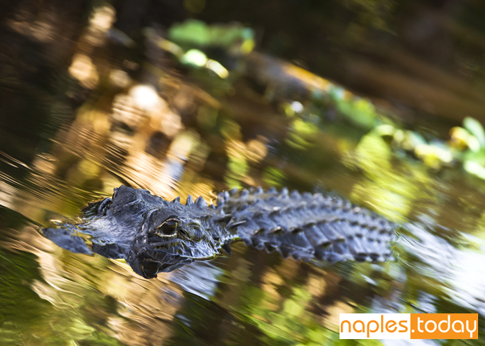 swimming American alligator