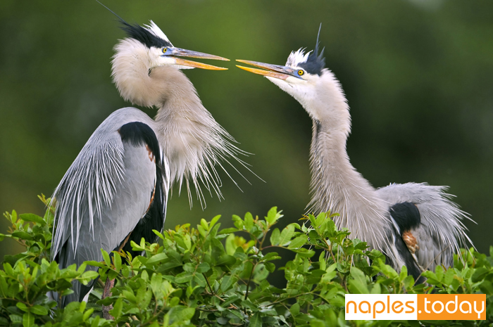 Two Great Blue Herons in mating dance