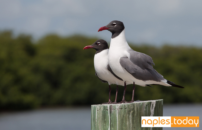Two Laughing Gulls surveying the area
