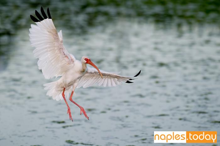White Ibis landing in Florida wetland